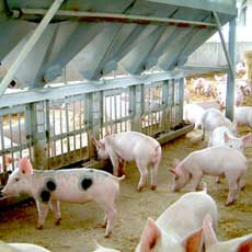 Southern Stockfeeds is a leading supplier of quality stockfeed to the pork industry